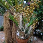Cyrtopodium saintlegerianum