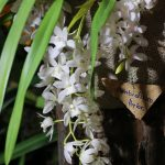 Phragmipedium bessae Hybride