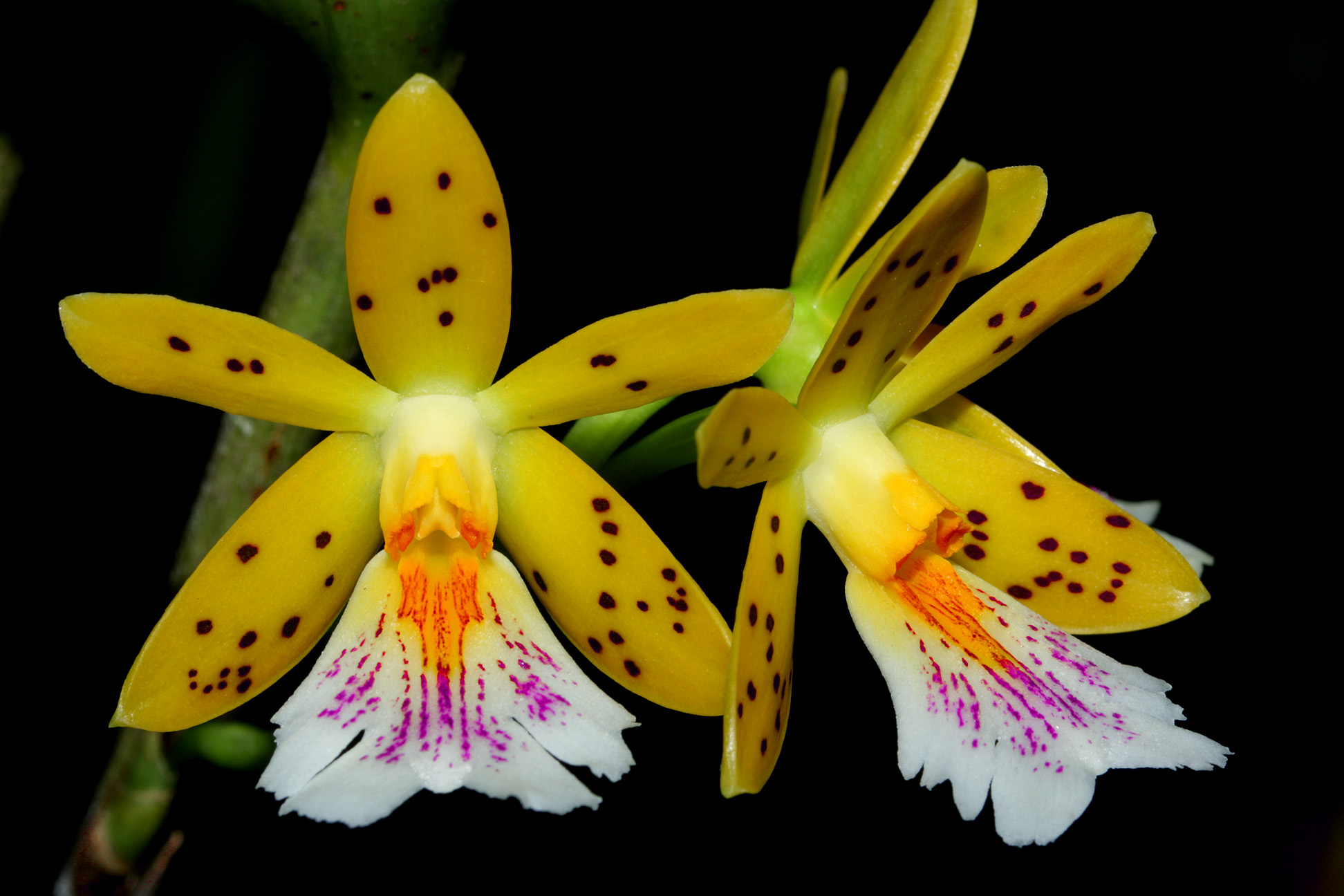 https://www.orchideenausstellung-wien.at/wp-content/uploads/2017/03/Oerstedella_IMG_9160100m2s.jpg